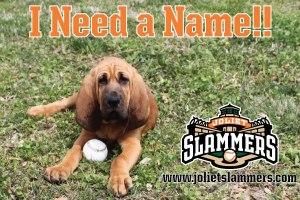 Joliet Slammers New Bloodhound Puppy Needs Name